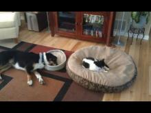Cat Stealing Dog Bed